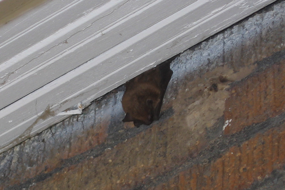 We provide quick bat removal and cleanup of bat problems