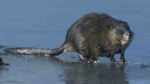 We are muskrat removal & control experts- give us a call!