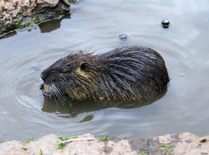 We are beaver removal & control specialists!