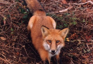 We can capture and relocate problem foxes. Call today for professional fox removal
