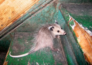 We are opossum removal specialists