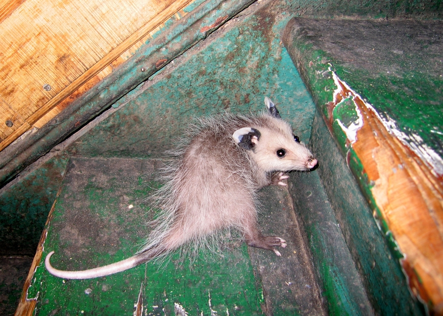 Opossum Bite http://wildlifecontrolsolutions.com/wildlife-removal/opossum-removal-and-control/