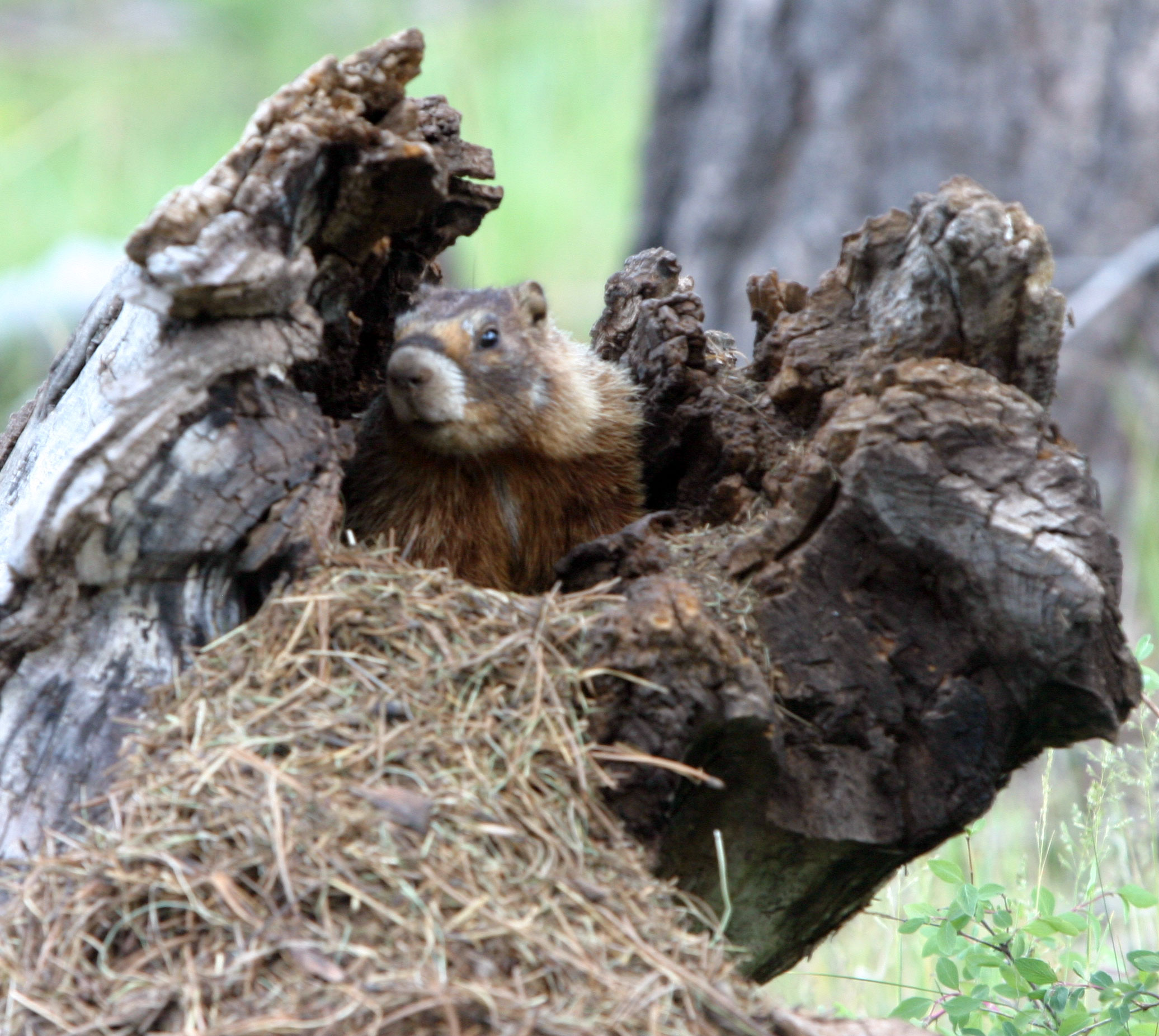 Woodchuck Removal & Control | Wildlife Control Solutions